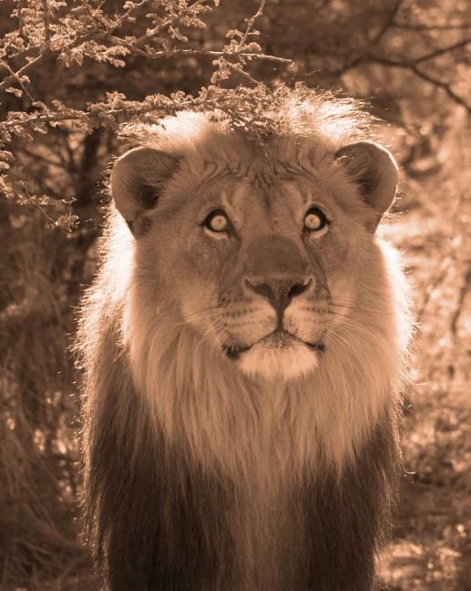 Botswana Lion 2